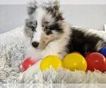 Small #5 Shetland Sheepdog