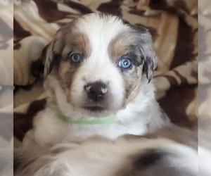 Miniature Australian Shepherd Puppy for sale in ALBUQUERQUE, NM, USA