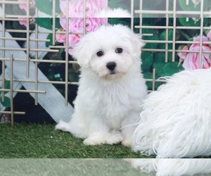 Maltichon Puppy for sale in MARIETTA, GA, USA