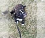 Small #6 Miniature Bulldog