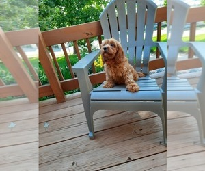 Cavapoo Puppy for Sale in SHIPSHEWANA, Indiana USA