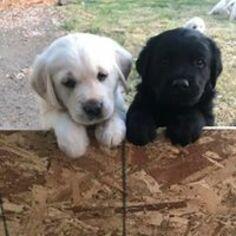 Golden Labrador Puppy For Sale in ASHLAND, OR, USA