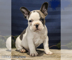 French Bulldog Puppy for sale in ASPEN HILL, MD, USA
