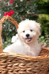 Zuchon Puppy For Sale in PLYMOUTH, OH, USA