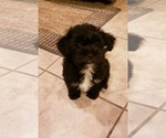 Shorkie Tzu Puppy For Sale in CONVERSE, TX, USA