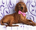 Grace  the Irish Setter
