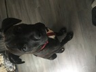 American Pit Bull Terrier-Cane Corso Mix Puppy For Sale in BALTIMORE, MD