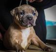 American Bully Puppy For Sale in CONCORD, CA