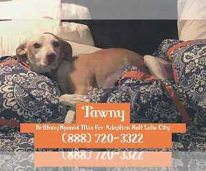 Brittany Mix Dog for Adoption in SALT LAKE CITY, Utah USA