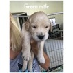 Golden Retriever Puppy For Sale in CAPE CORAL, FL,