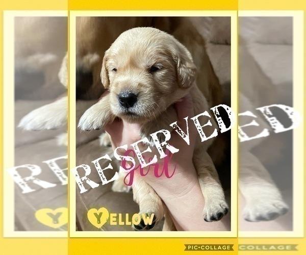 Medium Photo #4 Golden Retriever Puppy For Sale in TEMPLE, TX, USA