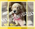 Small Photo #4 Golden Retriever Puppy For Sale in TEMPLE, TX, USA