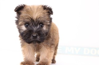 Soft Coated Wheaten Terrier Puppy For Sale in NAPLES, FL