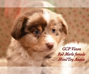 Miniature Australian Shepherd Puppy for sale in ALVIN, TX, USA