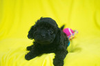 Cavapoo Puppy For Sale in CUYAHOGA FALLS, OH, USA