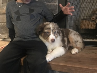 Australian Shepherd Puppy For Sale in KOKOMO, IN, USA