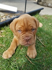 Dogue de Bordeaux Puppy For Sale in SPRINGFIELD, IL