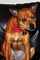 BETTY - Chow Chow / Boxer / Mixed Dog For Adoption