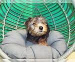 Puppy 0 YorkiePoo