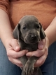 Blue Weimaraner Male Puppy