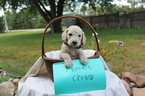 Poodle (Standard) Puppy For Sale in NORFOLK, NE,