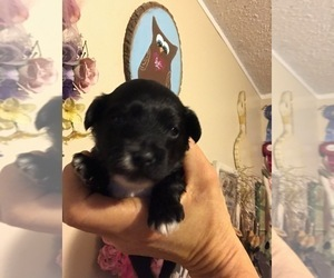 Poodle (Toy) Puppy for sale in SHALLOTTE, NC, USA