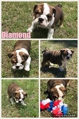 Bulldog Puppy For Sale in BRADENTON, FL, USA