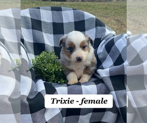 Australian Shepherd Puppy for sale in CLARKRANGE, TN, USA