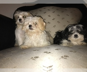 Shih Tzu Puppy for Sale in QUEEN CREEK, Arizona USA