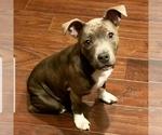 Small #13 Staffordshire Bull Terrier