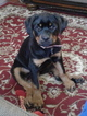 Rottweiler Puppy For Sale in WORCESTER, MA, USA