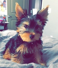 Yorkshire Terrier Puppy for sale in TUSTIN, CA, USA