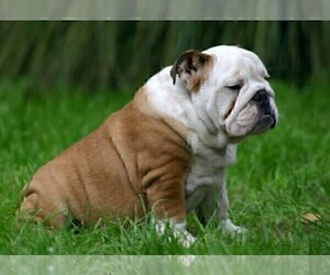 Father of the English Bulldog puppies born on 09/14/2020