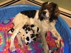 English Springer Spaniel Puppy For Sale in LITTLE SUAMICO, WI