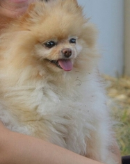 Pomeranian Dog For Adoption in WETHERSFIELD, CT, USA