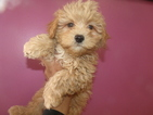 ShihPoo Mix Puppy For Sale in PATERSON, NJ, USA