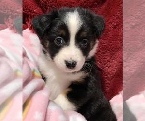 Miniature Australian Shepherd Puppy for sale in NEW HAMPTON, NY, USA