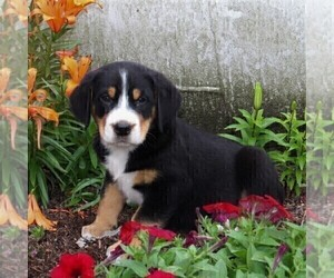 Greater Swiss Mountain Dog Puppy for sale in QUARRYVILLE, PA, USA