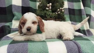 Adorable Cockapoo Puppy