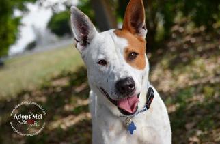 Marlin - Akita / Shepherd / Mixed Dog For Adoption