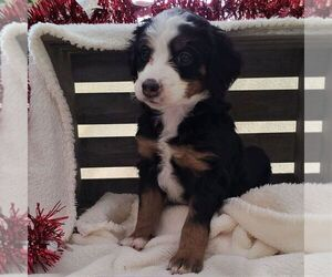 Bernedoodle-Poodle (Miniature) Mix Puppy for sale in FORT PLAIN, NY, USA