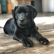 Labrador Retriever Puppy For Sale in PARIS, IL, USA