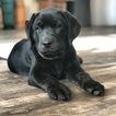 Labrador Retriever Puppy For Sale in PARIS, Illinois,