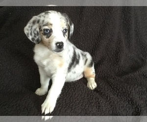 Australian Shepherd-Beagle Mix Puppy for sale in MANKATO, MN, USA
