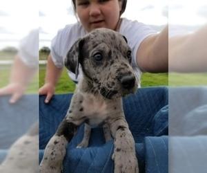 Great Dane Puppy For Sale in FARMERSVILLE, TX, USA