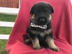 German Shepherd Dog Puppy For Sale in COLORA, MD, USA