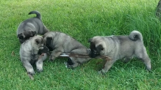 Norwegian Elkhound Puppy For Sale in CLINTONVILLE, WI, USA
