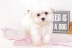 Maltese Puppy For Sale in NAPLES, FL,