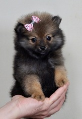 Pomeranian Puppy For Sale in WARSAW, IN, USA