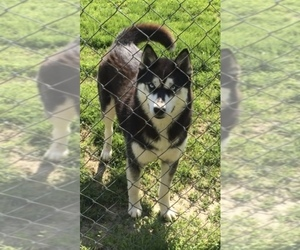 Mother of the Siberian Husky puppies born on 03/07/2020